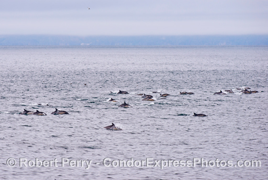Part of a mega pod of common dolphins (<em>Delphinus capensis</em>).