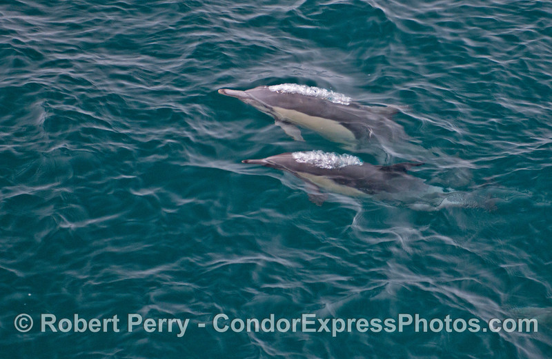 Two common dolphins (<em>Delphinus capensis</em>) coming up for air.