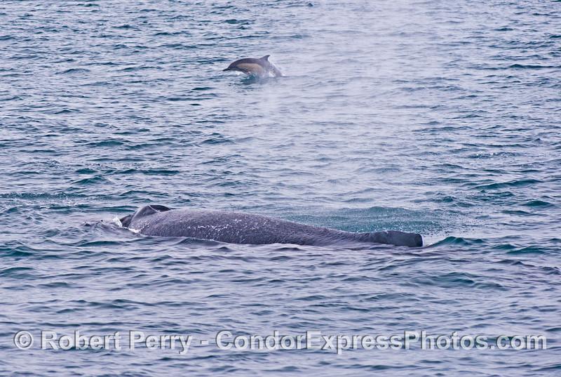 A common dolphin (<em>Delphinus capensis</em>) and a humpback whale (<em>Megaptera novaeangliae</em>).