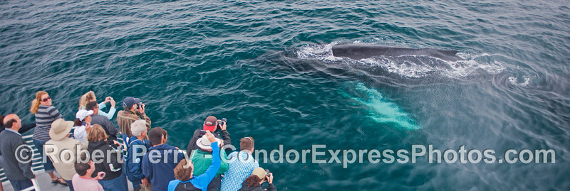 A wide format panorama - humans, cameras and a humpback whale (<em>Megaptera novaeangliae</em>) coming very close.