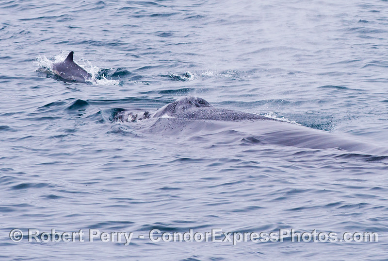 "A common dolphin (<em>Delphinus capensis</em>) rides the ""bow"" of a humpback whale (<em>Megaptera novaeangliae</em>)."