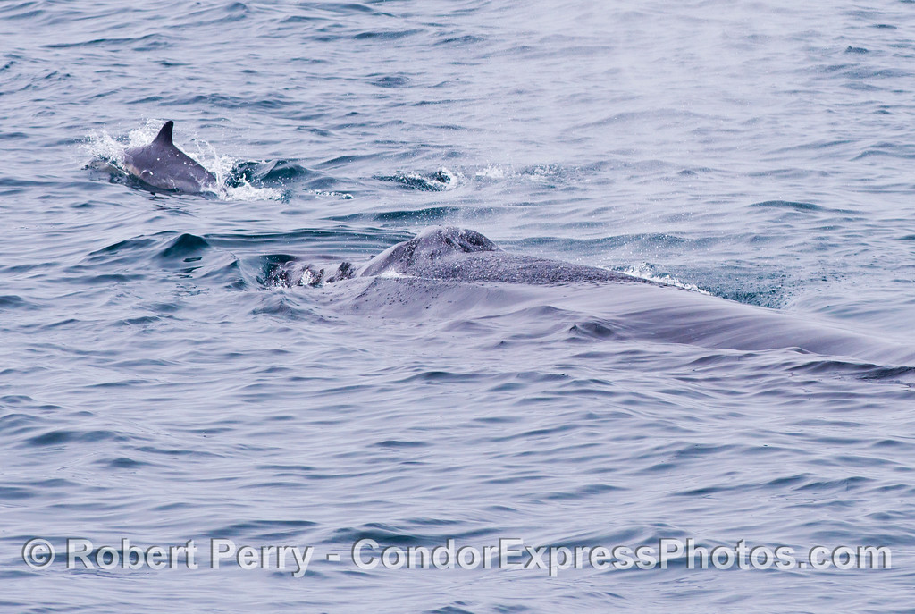 "A common dolphin (Delphinus capensis) rides the ""bow"" of a humpback whale (Megaptera novaeangliae)."