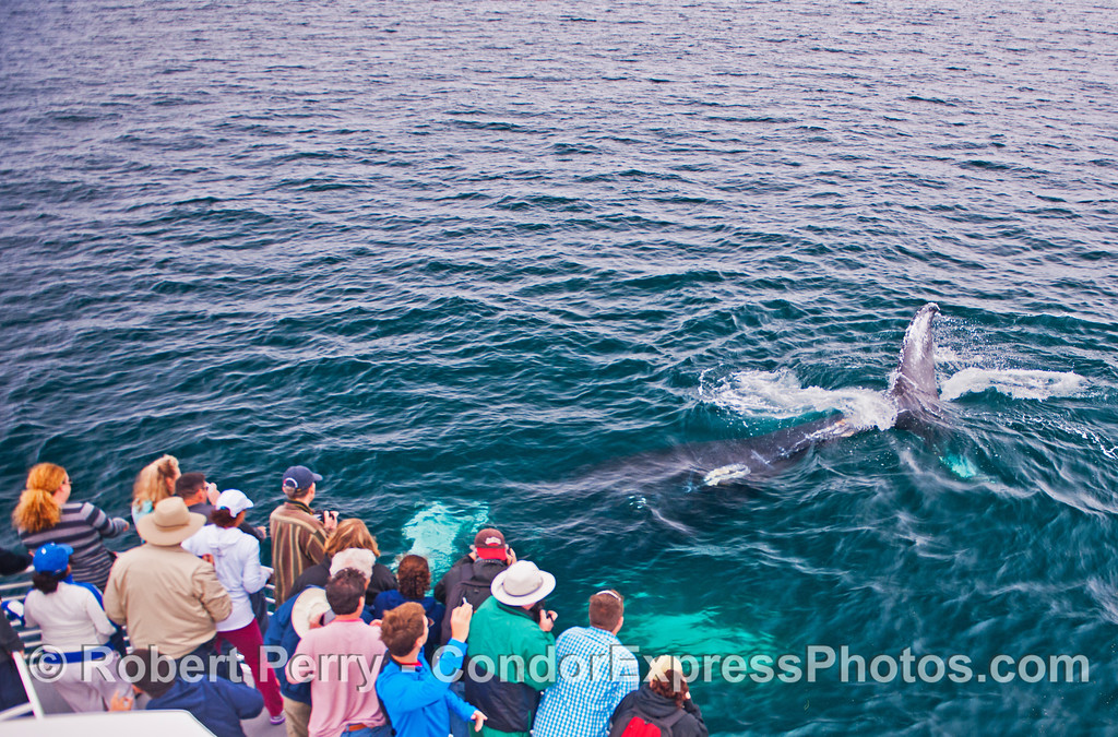 A humpback whale (<em>Megaptera novaeangliae</em>) rolls over as it passes beneath the feet of human on-lookers.