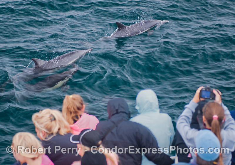 Curious common dolphins (<em>Delphinus capensis</em>) and their fan club.