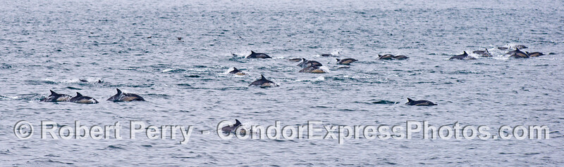 A wide view panorama of a mega pod of common dolphins (<em>Delphinus capensis</em>).