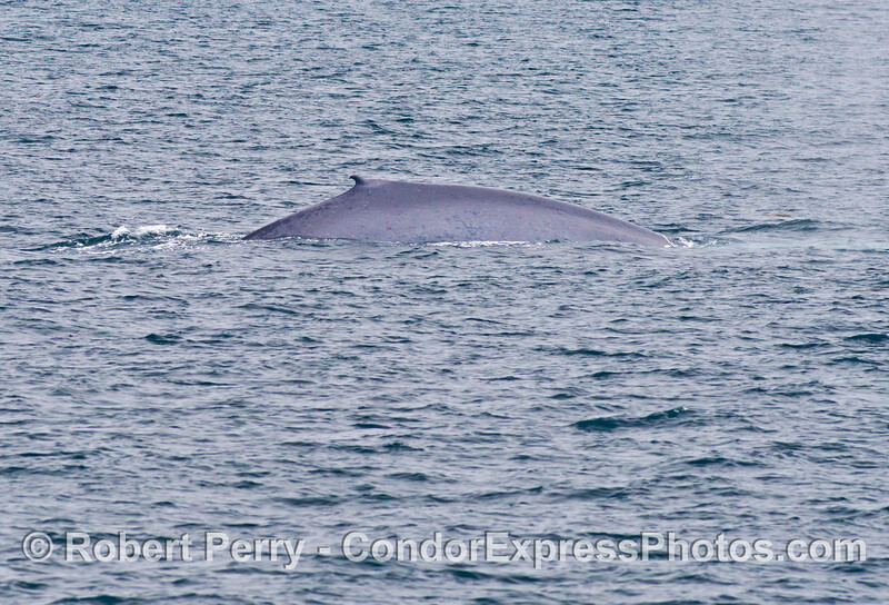 A look at the right flanks of a giant blue whale (<em>Balaenoptera musculus</em>).