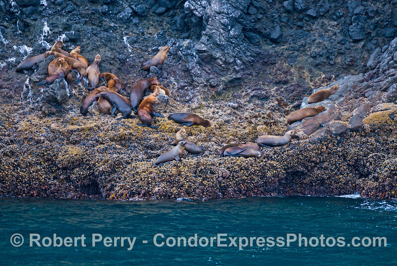 California sea lions (<em>Zalophus californianus</em>) resting on a rocky ledge at Santa Cruz Island.