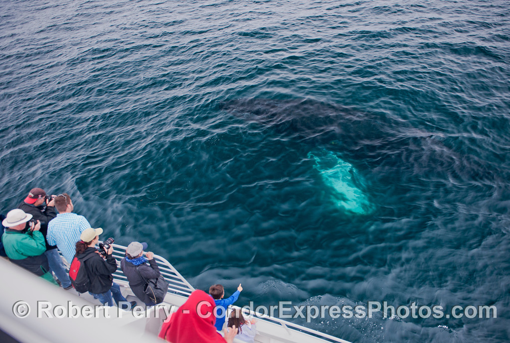 Seen just beneath the ocean surface, a big humpback whale (<em>Megaptera novaeangliae</em>) comes over to the boat.