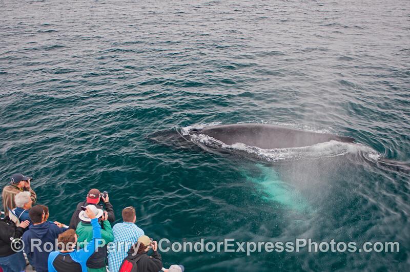 A friendly approach by a curious humpback whale (<em>Megaptera novaeangliae</em>).