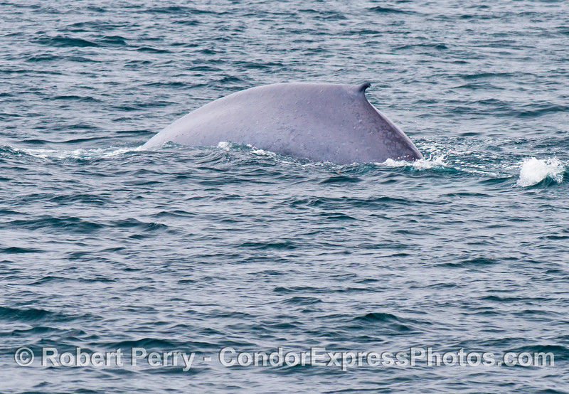 A blue whale (<em>Balaenoptera musculus</em>) arches its back in the early stages of a deep dive.