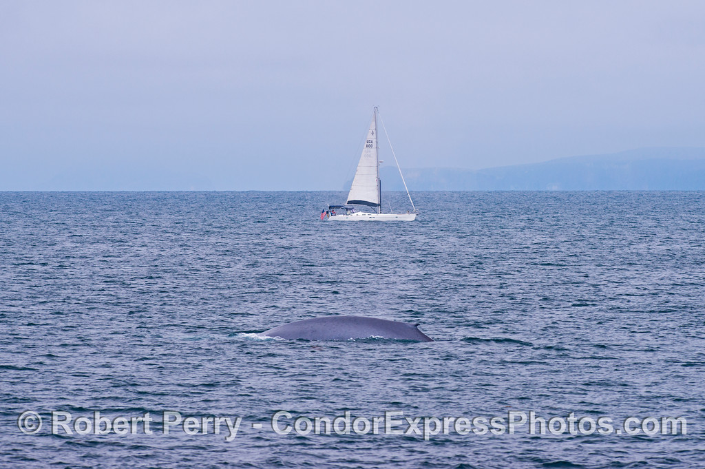 Here we see about 1/3rd of the back of a giant blue whale (<em>Balaenoptera musculus</em>) and a sailboat for size comparison purposes.