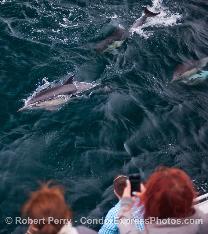 Long beaked common dolphins (<em>Delphinus capensis</em>) take a look at the Condor people.