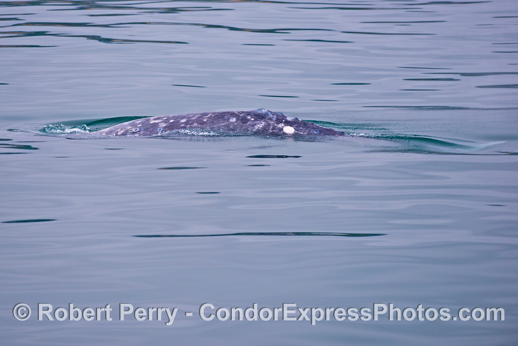Image 3 of 3:  A very late gray whale (<em>Eschrichtius robustus</em>) seen on July 5th.  Strange sight to behold.