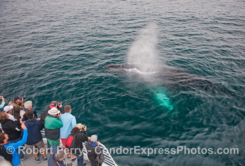 "People on the Condor Express get exposed to a little light ""rain"" from this humpback whale (<em>Megaptera novaeangliae</em>)."
