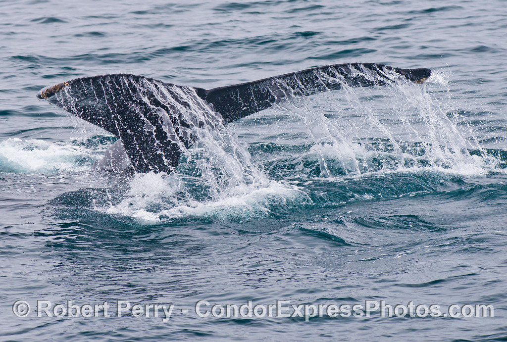 Image 2 of 3 - Tail flukes of a humpback whale (<em>Megaptera novaeangliae</em>).