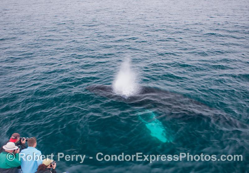 Cameras ready!  A spouting humpback whale (<em>Megaptera novaeangliae</em>) mugs the Condor Express.