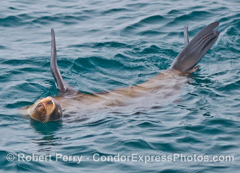 A rafting California sea lion (<em>Zalophus californianus</em>).