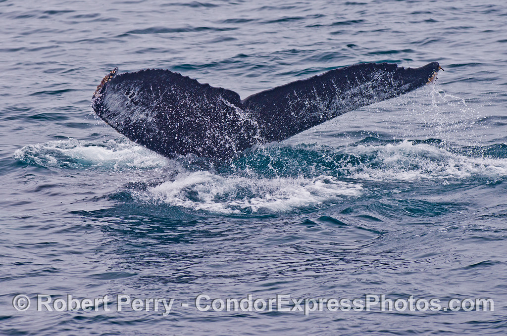 Image 3 of 3 - Tail flukes of a humpback whale (Megaptera novaeangliae).
