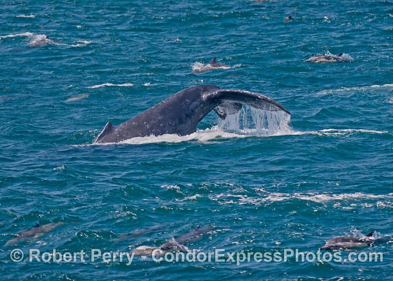 A deep diving humpback whale (<em>Megaptera novaeangliae</em>) is surrounded by common dolphins (<em>Delphinus capensis</em>).