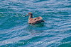 Image 1 of 3:  a black footed albatross (Phoebastria nigripes) in the Santa Barbara Channel.
