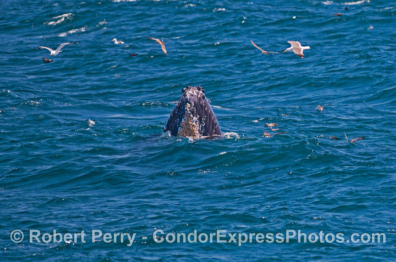 Sea birds take a look at a spy hopping  humpback whale (<em>Megaptera novaeangliae</em>).