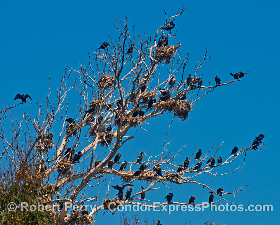 Image 1 of 2:  Brandt's cormorants (<em>Phalocrocorax penicillatus</em>) nesting and roosting in a tree alongside the Pacific Coast Highway between Summerland and Monticeto.