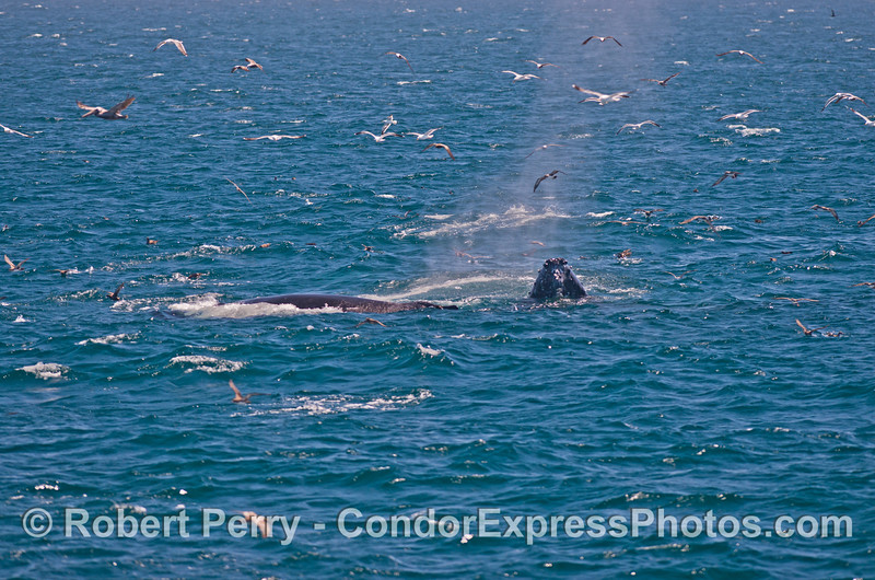 Two surface lunge feeding  humpback whales (<em>Megaptera novaeangliae</em>).