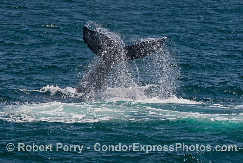 Lob-tailing humpback whale (<em>Megaptera novaeangliae</em>).