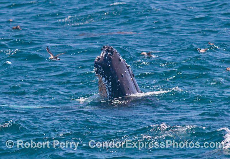 A nice side view profile of a spy hopping  humpback whale (<em>Megaptera novaeangliae</em>).