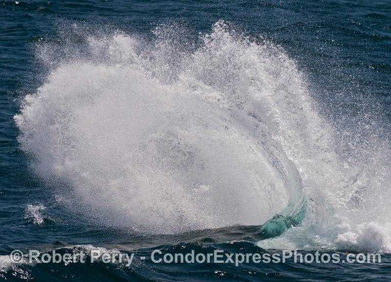 Megaptera novaeangliae on windy ocean 2013 07-08 SB Channel-057