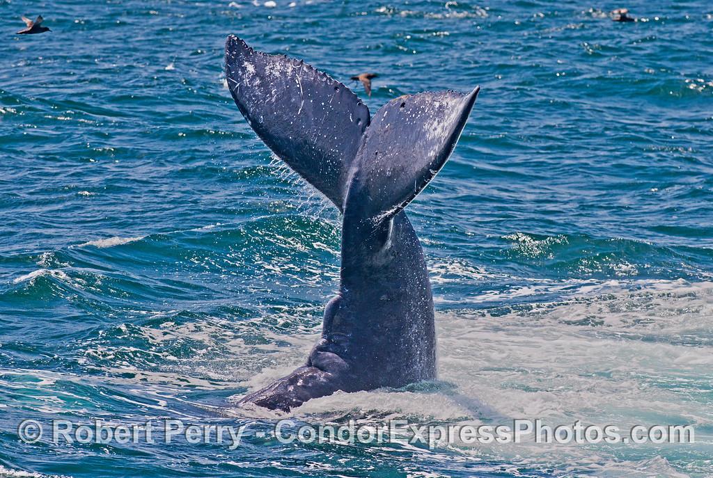 Kickin' up its heels - a humpback whale (<em>Megaptera novaeangliae</em>) is captured during a lob-tailing behavior.