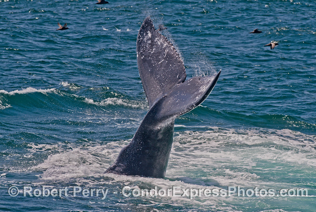 Lob tailing humpback whale (<em>Megaptera novaeangliae</em>).