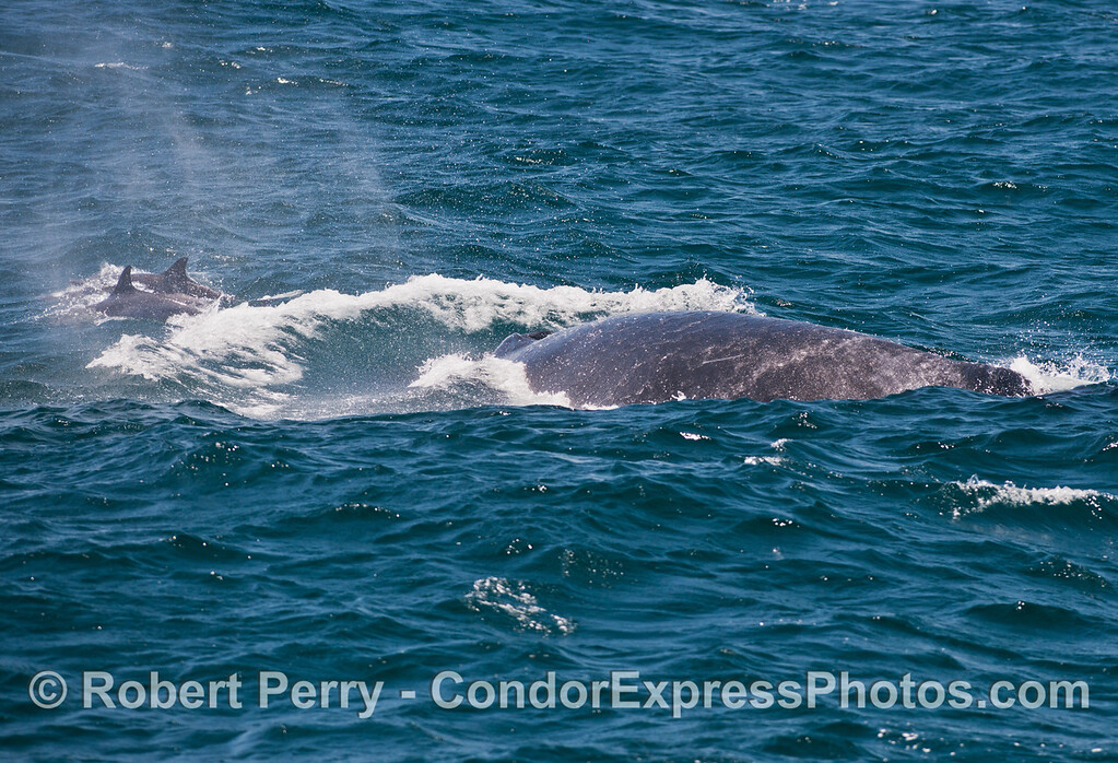 """A closer view of common dolphins (<em>Delphinus capensis</em>) riding the """"bow"""" of a humpback whale (<em>Megaptera novaeangliae</em>)."""