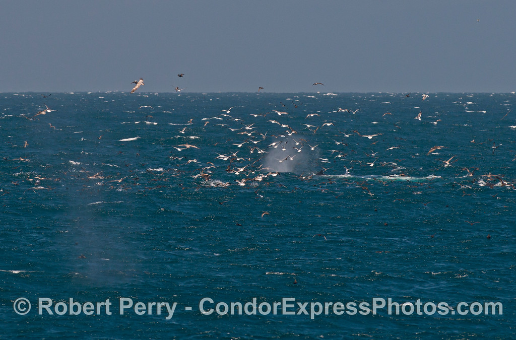 An oceanic hot spot, a feeding frenzy of sea birds, dolphins and of course, a humpback whale (<em>Megaptera novaeangliae</em>).