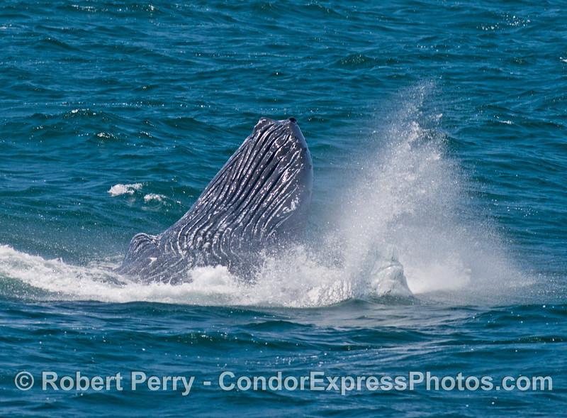 An upside down humpback whale (<em>Megaptera novaeangliae</em>) does a half-breach maneuver.