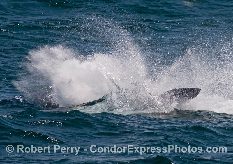 Sequence 2 of 3:  A big tail throw from a humpback whale (<em>Megaptera novaeangliae</em>).
