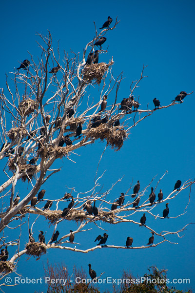 Image 2 of 2:  Brandt's cormorants (<em>Phalocrocorax penicillatus</em>) nesting and roosting in a tree alongside the Pacific Coast Highway between Summerland and Monticeto.
