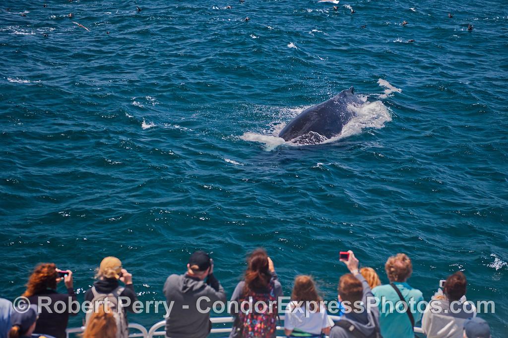 A  humpback whale (<em>Megaptera novaeangliae</em>) pays a close visit to the Condor Express.