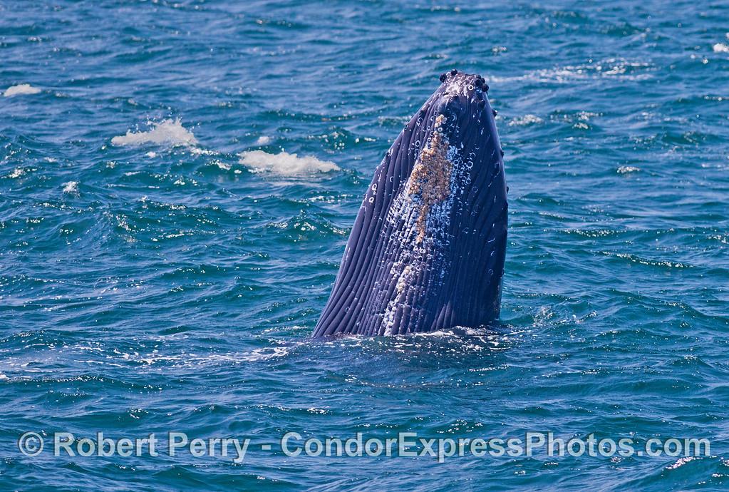 A big spy hop -- humpback whale (<em>Megaptera novaeangliae</em>).