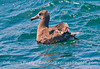 Image 2 of 3:  a black footed albatross (<em>Phoebastria nigripes</em>) in the Santa Barbara Channel.