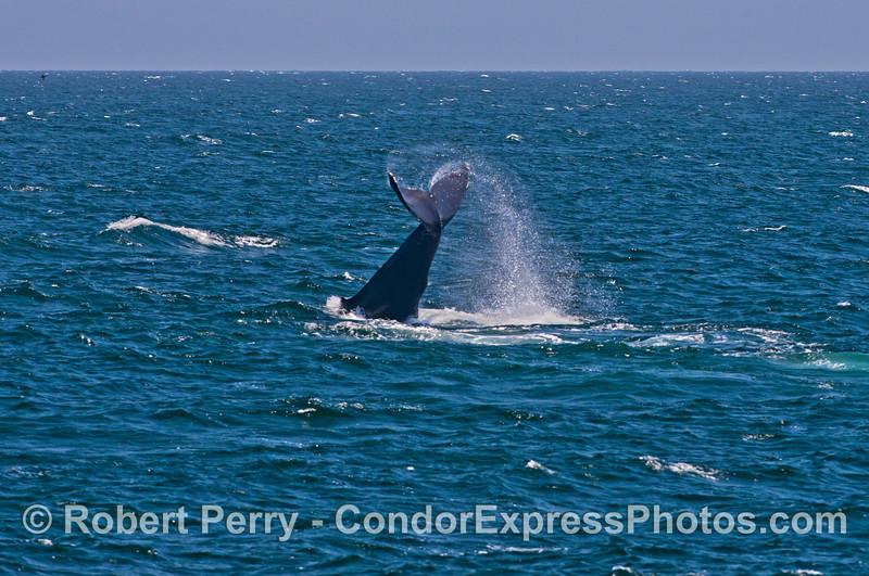 Another lob tailing humpback whale (<em>Megaptera novaeangliae</em>).