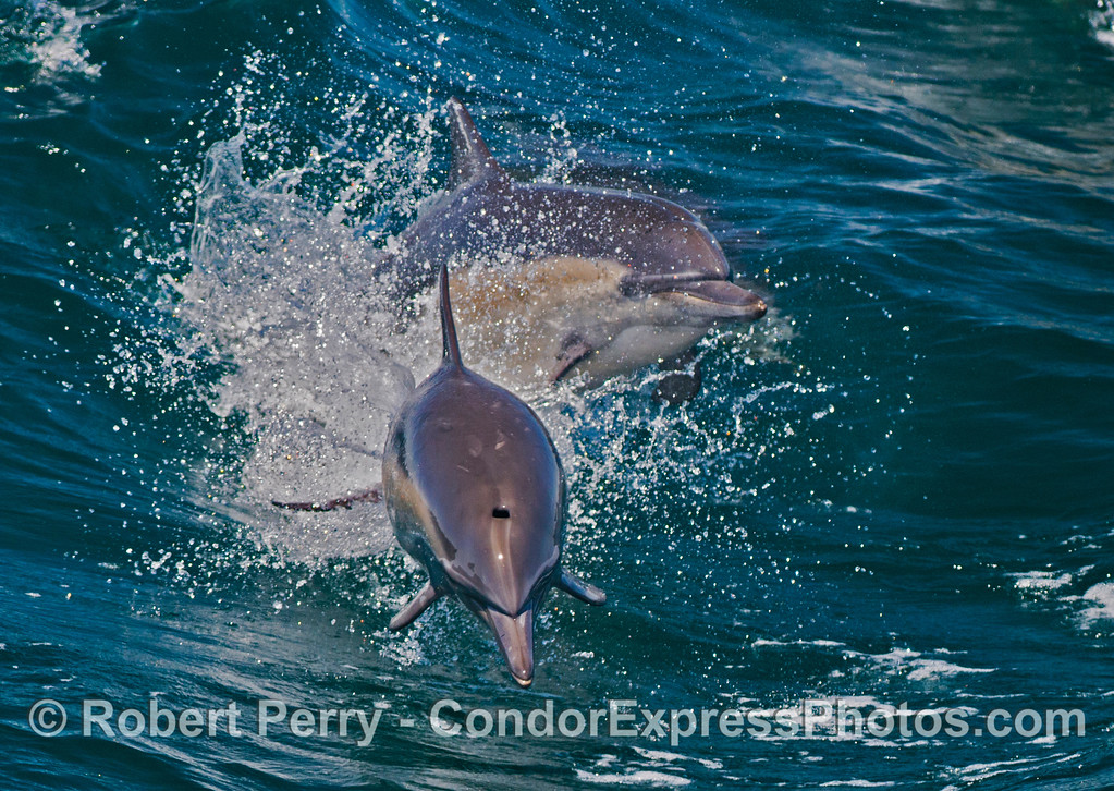 Two leaping common dolphins (<em>Delphinus capensis</em>) explode from the waves.