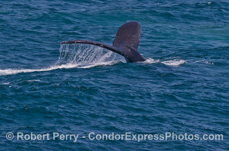Tail flukes of a diving humpback whale (<em>Megaptera novaeangliae</em>).