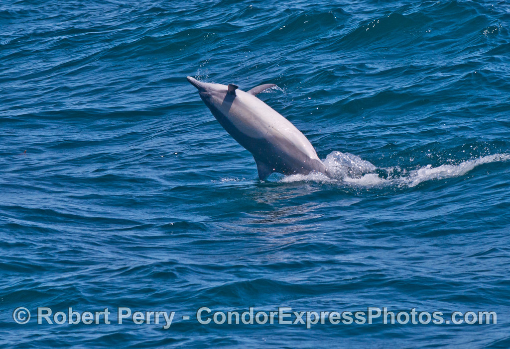 An upside down leaping common dolphin (<em>Delphinus capensis</em>).