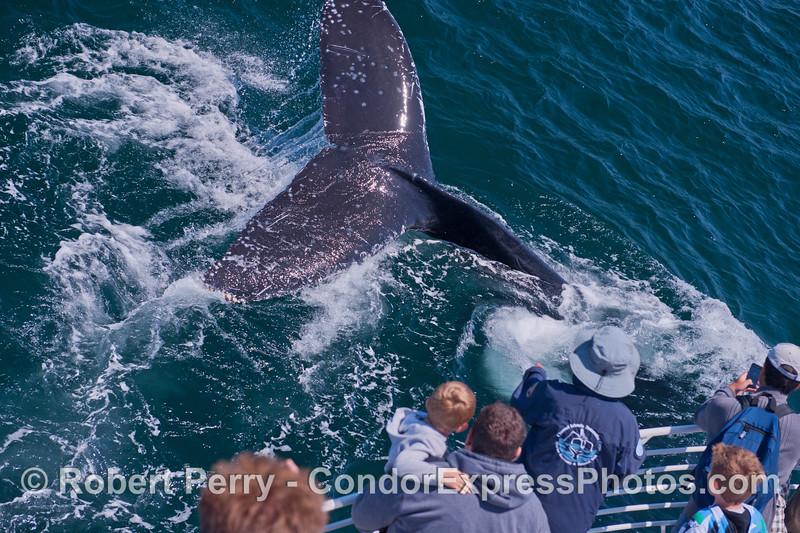 A friendly humpback whale (<em>Megaptera novaeangliae</em>) mugs the Condor Express.