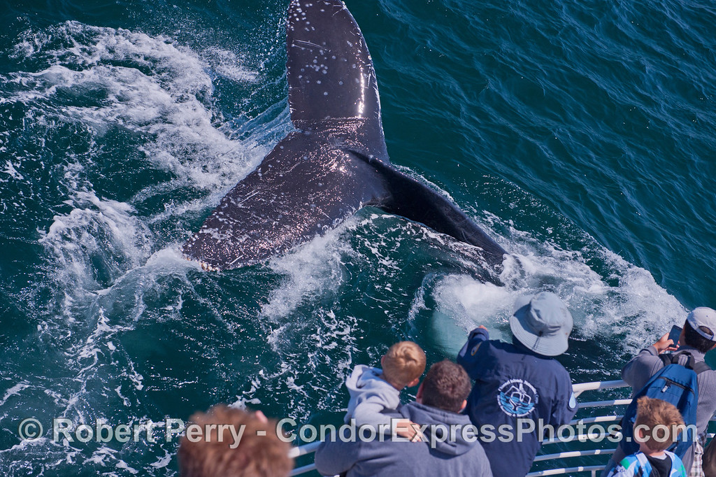 A friendly humpback whale (<em>Megaptera novaeangliae</em>) mugs the Condor Express.