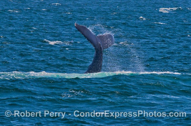 More lob tailing from the same humpback whale (<em>Megaptera novaeangliae</em>).
