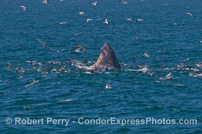 A profile of a humpback whale (<em>Megaptera novaeangliae</em>) surface lunge feeding.