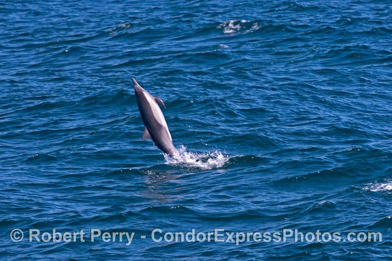 A tail walking common dolphin (<em>Delphinus capensis</em>).