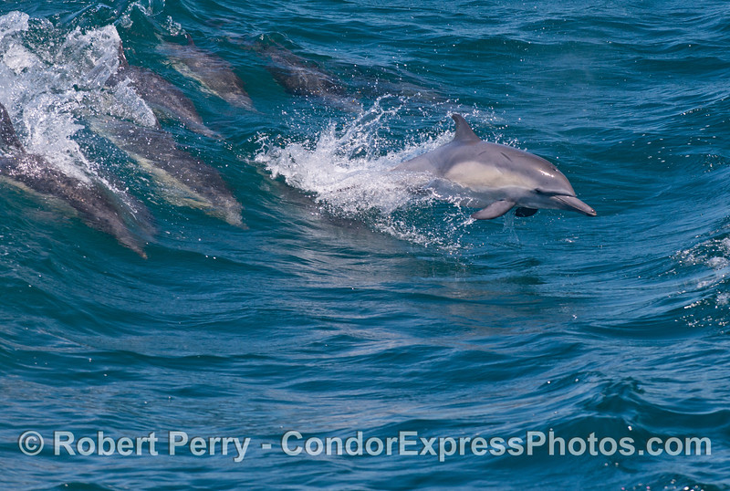 Common dolphins (<em>Delphinus capensis</em>) surf and leap over the waves.